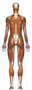 Female Muscular System Anatomy Stock Photo