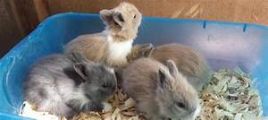 Lionhead Rabbit Care Guide