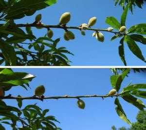 Thinning Fruit  Cooperative Extension Tree Fruits
