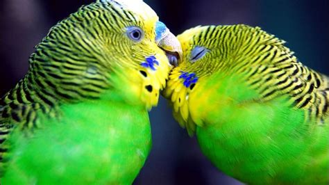 Kissing Budgies Animals Funny Wallpapers Cute Birds