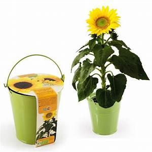 Sonnenblume Im Topf : sonnenblume im zinktopf h bsche pflanze in silberfarbenem eimer ~ Orissabook.com Haus und Dekorationen