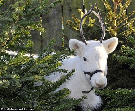 rare snow white reindeer puts whitby garden centre