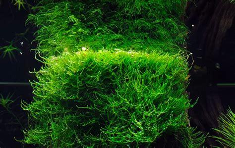 Java Moss Aquascape by Java Moss Beginner Friendly Guide Aquascape Guru