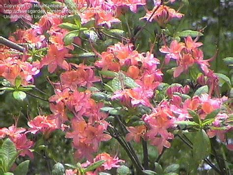 northern lights azalea article northern lights azaleas azaleas 1 by