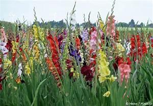 Pflanzen Sonniger Standort : gladiolen pflanzen in allen farben garten hausxxl ~ Lizthompson.info Haus und Dekorationen