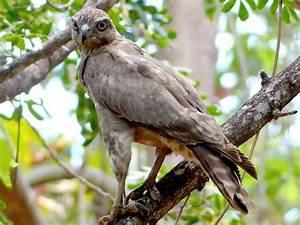 Madagascar Language Chart Madagascar Cuckoo Hawk Ebird