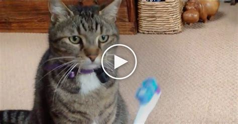 cat discovers electric toothbrush    time