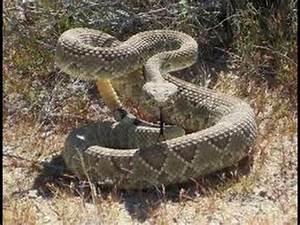 king cobra vs cobra 4 kill alligator python fight ...