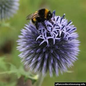 Blau Blühender Bodendecker : blau bl hende pflanzen und blumen bestimmen meine pflanzen pinterest blumen blaue blumen ~ Frokenaadalensverden.com Haus und Dekorationen