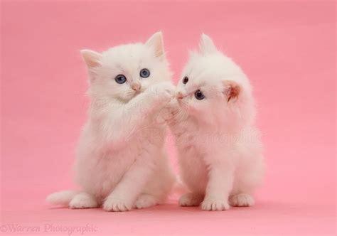 pink kitten wallpaper gallery