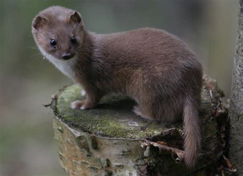 Question Of The Day, Weasel Or Grizzly?