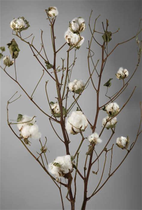 real cotton stalks