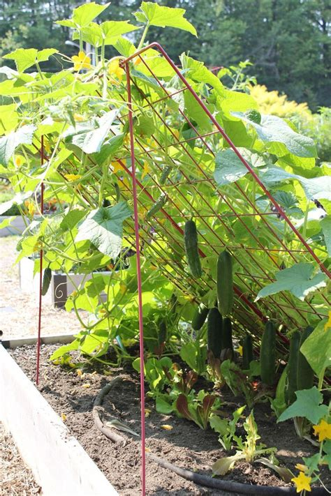 growing cucumbers on a trellis garden trellis flags on a stick