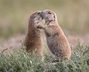 prairie dog kissing   Prairie Dogs Kissing & Hugging ...