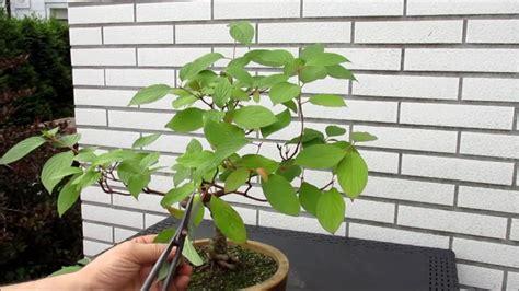 bonsai äste schneiden 14 bonsai schneiden