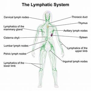 Diagram Of Lymphatic System  U2014 Untpikapps
