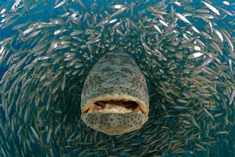 grouper goliath giant species photographer wildlife ocean seifert douglas david jewfish largest groupers fishing mero feeding 2008 human nature shell