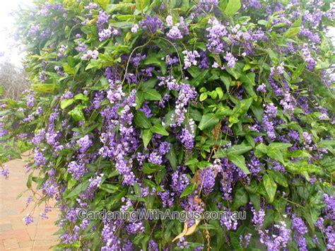 Hardenbergia Comptoniana  Native Wisteria Gardening