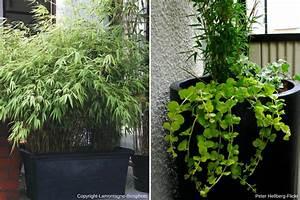 Bambous En Pot : bambou en pot comment cultiver en 5 points nos ~ Melissatoandfro.com Idées de Décoration