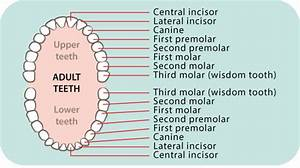Dental Care  Children U2019s Teeth 5