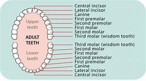 Dental Care  Children U2019s Teeth 5