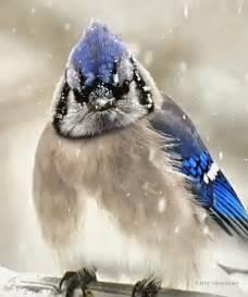 Blue Jays Birds in Snow