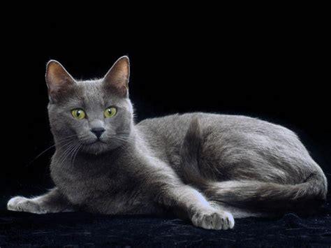 Chat, persan : chat et chaton