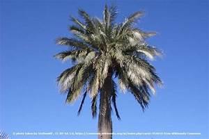 Welche Erde Für Palmen : 22 winterharte palmen f r garten und k bel auf dem balkon ~ Watch28wear.com Haus und Dekorationen