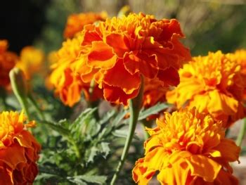 marigolds keep bugs away 6 mosquito repellent plants to keep pests away angies list