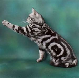 Gallery For > Marbled Tabby Cat