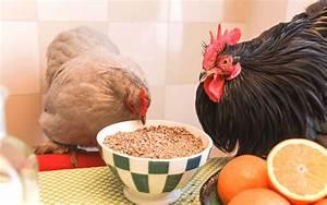 Comment élever Des Poules Pondeuses : lever ses poules dans son jardin t l chargez le guide gratuit part 6 ~ Dode.kayakingforconservation.com Idées de Décoration