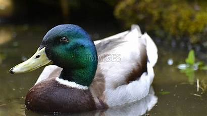 Duck Mallard Wallpapertag