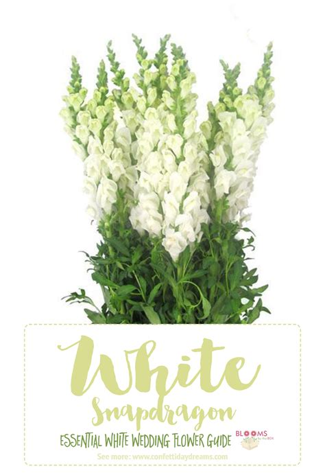 white flowers names snapdragon