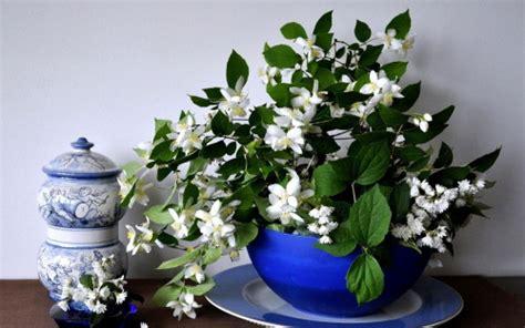 gelsomino coltivazione in vaso gelsomino come coltivarlo e curarlo tuttogreen