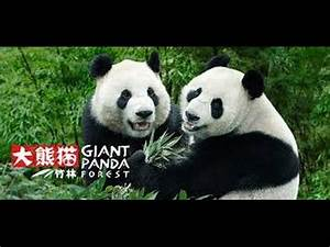 Panda Exhibit - River Safari, Singapore Zoo, HD - YouTube