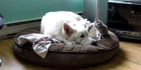 big white dog   grey kitten   heart video