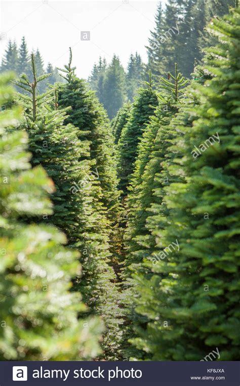 christmas tree farms near mt hood tree farms stock photos tree farms stock images alamy