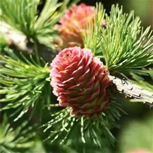 Zierbäume Für Den Garten : zierb ume f r den garten winterhart immergr n ~ Frokenaadalensverden.com Haus und Dekorationen