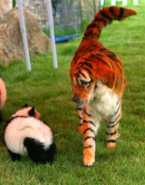 Panda Dogs China Newest Adorable Fashion Craze Photos