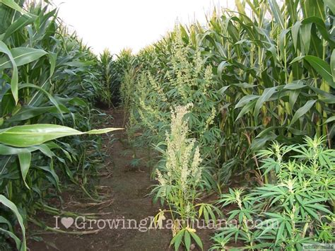 la seguridad al cultivar marihuana