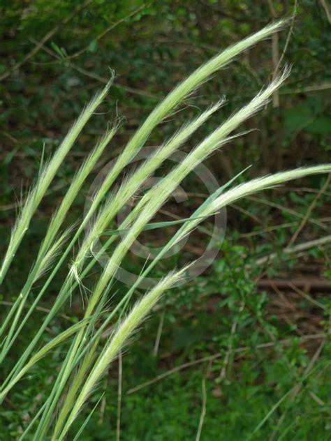 dichelachne micrantha short hair plume grass information