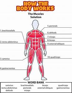 Answers  The Muscles