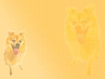 dog pomeranian  powerpoint templates