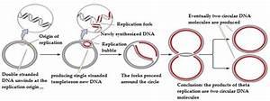 Theta Replication Of Bacterial Dna