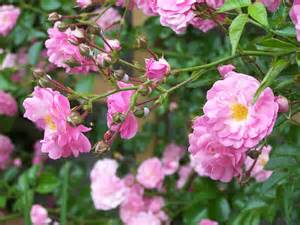 file pink climbing roses gold river ns jpg wikimedia