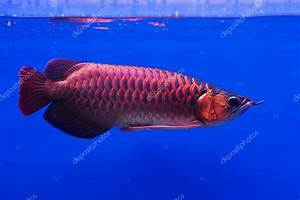 asian arowana pictures