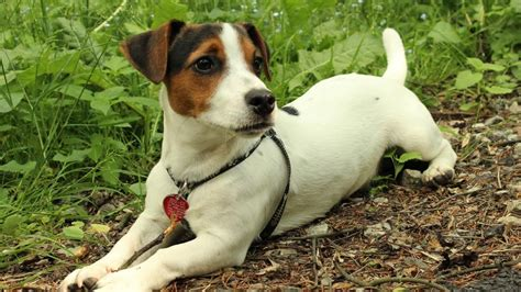 train  jack russell mix referencecom