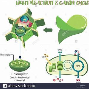 Photosynthesis Plant Cell Diagram Illustration Vector
