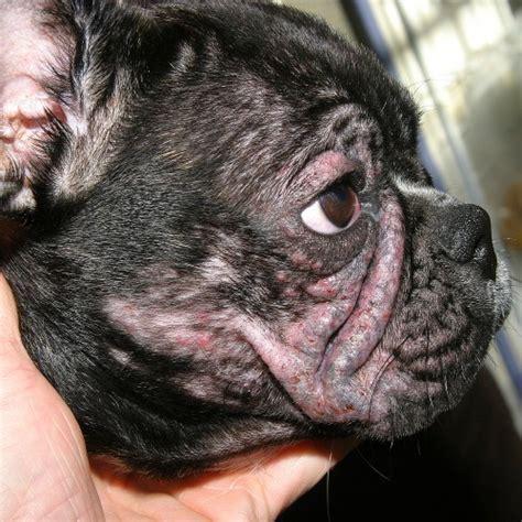 la dermatite atopique chez le chien dermavet