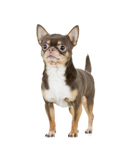 chihuahua dogs breed information omlet
